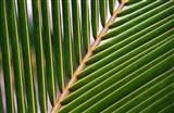 Palm, Fiji