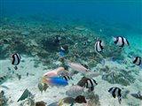 Tropical Fish, Malolo Lailai Island, Fiji