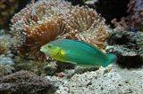 Chainlined wrasse fish, Kula Eco Park, Viti Levu, Fiji