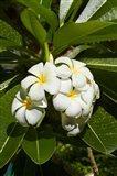 Frangipani flowers (Plumeria), Nadi, Viti Levu, Fiji