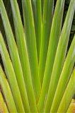 Palm frond pattern, Fiji
