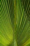Palm frond, Nadi, Viti Levu, Fiji