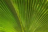 Palm frond, Fiji
