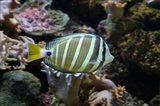 Sailfin tang fish, Kula Eco Park, Viti Levu, Fiji