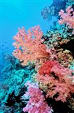 Colorful Sea Fans and other Corals, Fiji, Oceania