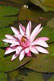 Fiji, Viti Levu Island Water lily flower
