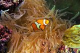 Close up of a Clown Fish in an Anemone, Nadi, Fiji