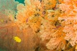 Golden Dream Reef, Bligh Water Area, Viti Levu, Fiji Islands