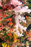 Schooling Fairy Basslet fish, Fiji
