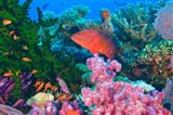Fairy Basslet fish and Coral, Viti Levu, Fiji