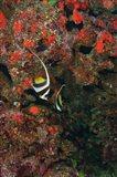 Bannerfish, Viti Levu, Fiji