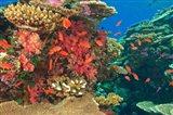 Fairy Basslet fish in Viti Levu, Fiji