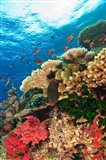 Fairy Basslet fish Swimming, Viti Levu, Fiji