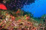 Coral Cod and Anthias fish, Viti Levu, Fiji
