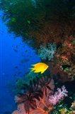 Yellow Damsel, Gorgonian sea fan, Fish, Fiji