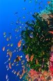 Coral and Fairy Basslet fish, Viti Levu, Fiji