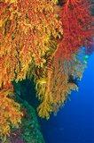Gorgonian Sea Fan, Marine life, Viti Levu Fiji