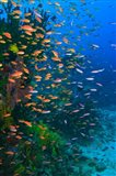 Scuba Diver, Fairy Basslet fish Viti Levu Fiji