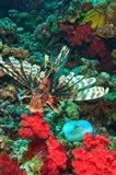 Lionfish, Rainbow Reef, Taveuni Island, Fiji