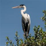 Brazil, Pantanal, Cocoi Heron