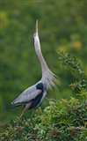 Great Blue Heron Displaying the Sky Point Courtship Ritual