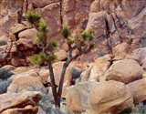 Lone Joshua Trees Growing In Boulders, Hidden Valley, California