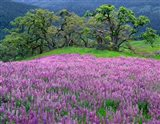 Lupine Meadow In The Spring Among Oak Trees