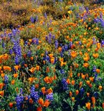 Douglas Lupine And California Poppy In Carrizo Plain National Monument