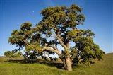 California, Cottonwood Tree