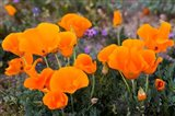 Golden California Poppies In Antelope Valley