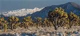 Panoramic View Of Joshua Trees In The Snow