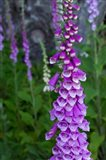 Closeup Of Foxglove Flower