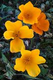 Early Blooming Golden California Poppies