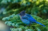 Steller's Jay Perched On A Fir Bough