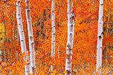 Bright Autumn Aspens Along Bishop Creek