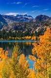 Golden Fall Aspens At June Lake