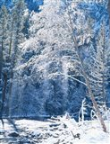 Snow covered trees along Merced River, Yosemite Valley, Yosemite National Park, California