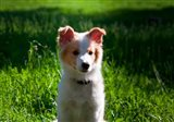 Border Collie puppy dog in a field