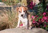 An American Pitt Bull Terrier puppy dog