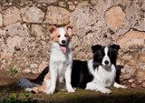 A pair of Border Collie dogs