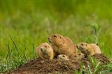 Prairie Dog Family On A Den Mound