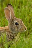 Side Portrait Of A Cottontail Rabbit