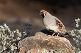 Gambel's Quail On A Rock