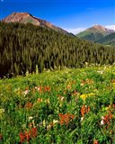 Wildflowers In Meadow Of The Maroon Bells-Snowmass Wilderness
