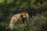 Red Fox In A Meadow