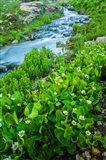 Stream Cascade With Spring Marigolds, Colorado