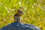Golden-Mantled Ground Squirrel Eating Grass Seeds