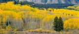 Autumn Grove Panorama At The Base Of The Ruby Range