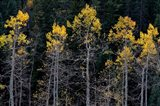 Autumn Yellow Aspen In The Uncompahgre National Forest