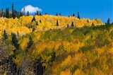 Golden Landscape If The Uncompahgre National Forest
